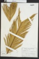Image of Encephalartos caffer