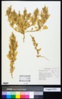 Atriplex phyllostegia image