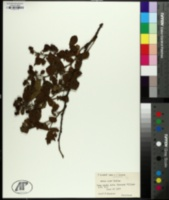 Image of Rubus x acer