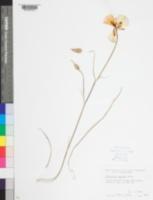 Calochortus venustulus image
