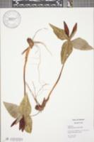 Trillium underwoodii image