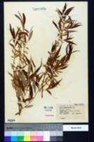 Image of Salix pendulina