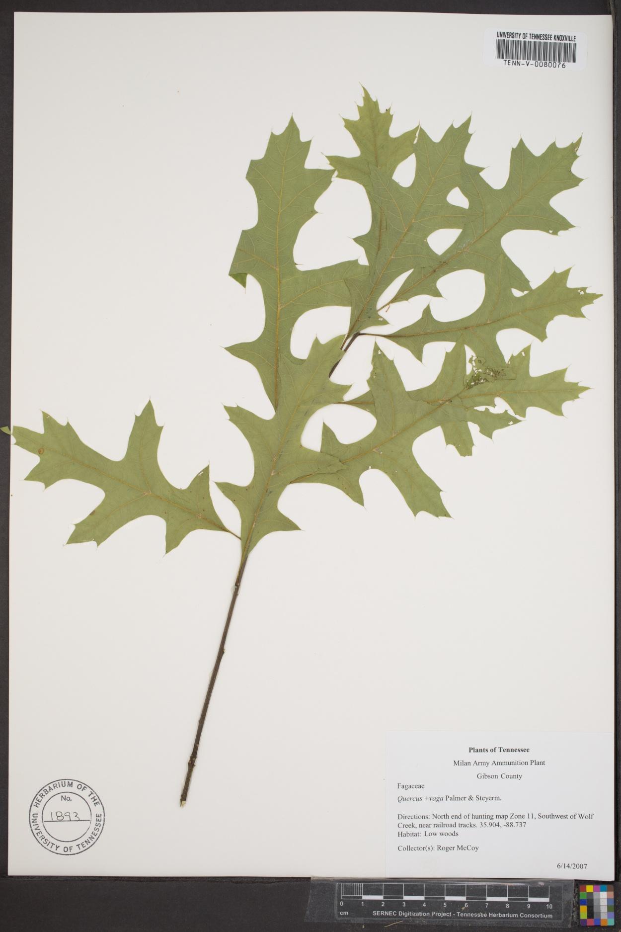 Quercus x vaga image