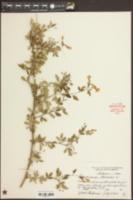Jasminum humile image