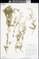 Cryptantha intermedia image