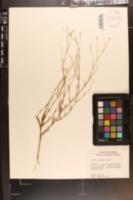 Image of Sabatia elliottii