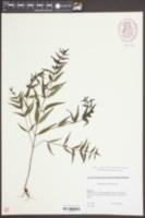 Melampyrum sylvaticum image