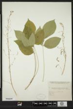 Hylodesmum nudiflorum image