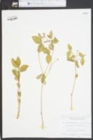 Image of Tithymalopsis mercurialina