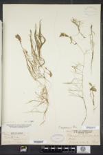 Potamogeton bicupulatus image
