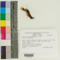 Image of Rhizomnium appalachianum