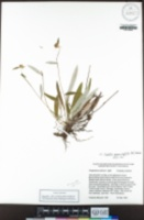 Euchiton gymnocephalus image