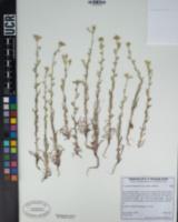 Cryptantha muricata image