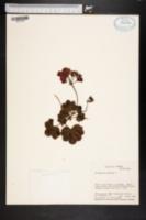 Image of Pelargonium peltatum