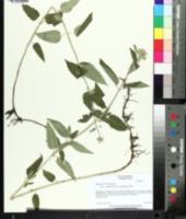 Monarda fistulosa var. menthaefolia image
