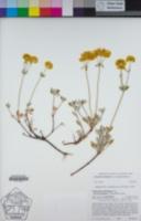 Eriogonum umbellatum var. torreyanum image
