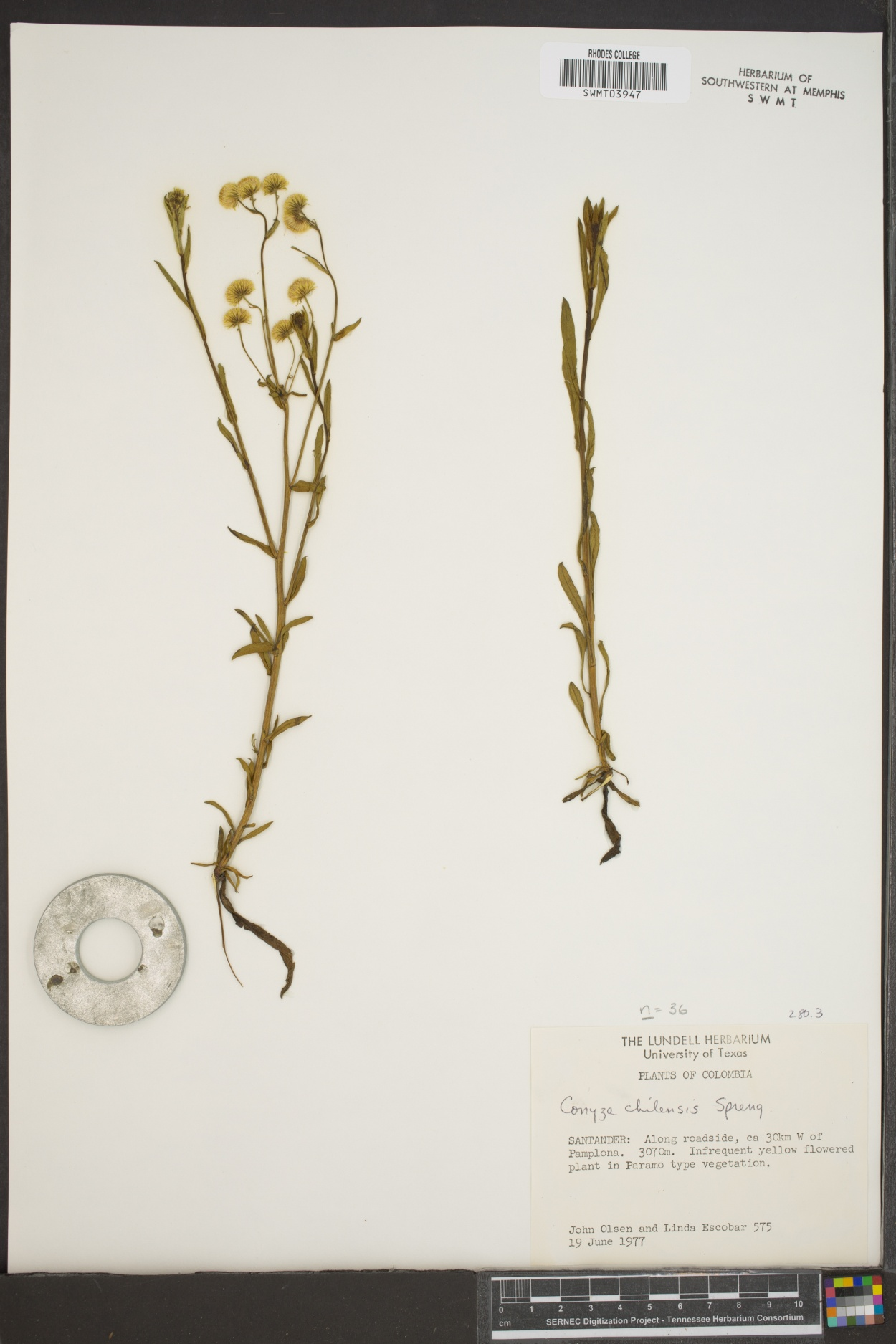 Conyza chilensis image