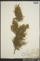 Image of Juniperus barbadensis