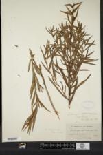 Ludwigia polycarpa image