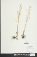Cardamine parviflora image