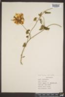 Convolvulus americanus image