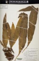 Image of Microsorum membranaceum