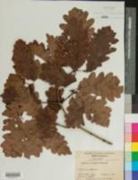 Quercus × saulii image