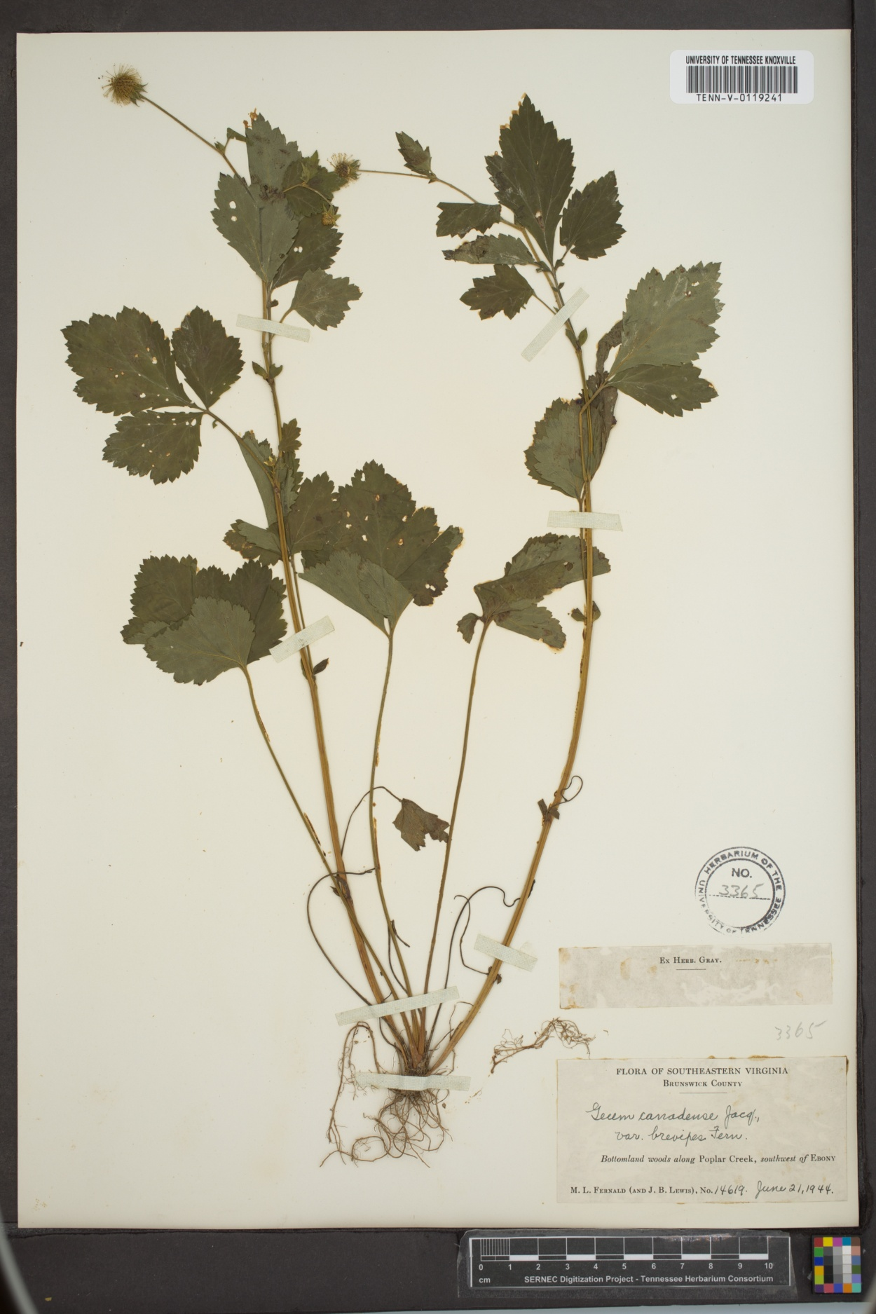 Geum canadense var. brevipes image