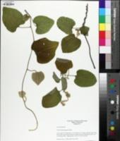Aristolochia tomentosa image