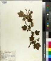 Grossularia cynosbati image