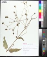 Image of Silphium brachiatum