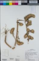 Ononis alopecuroides image