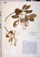 Image of Melicope ternata