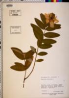 Hypericum calycinum image