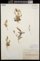 Image of Gentianopsis nesophila
