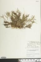 Image of Panicum lancearium