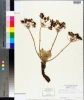Image of Aulospermum glaucum