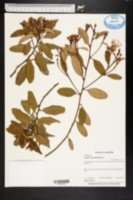 Capparis cynophallophora image