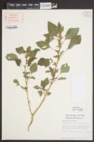 Amaranthus retroflexus image
