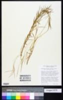 Image of Gymnopogon spicatus