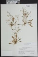Echinodorus tenellus image