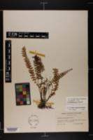 Image of Asplenium x heteroresiliens