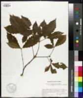 Quercus aliena image