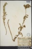 Euphorbia chamaecaula image