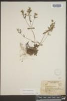 Houstonia ciliolata image