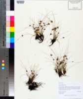 Image of Cyperus filiformis