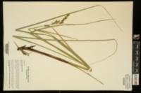 Carex decomposita image
