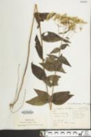 Eupatorium godfreyanum image