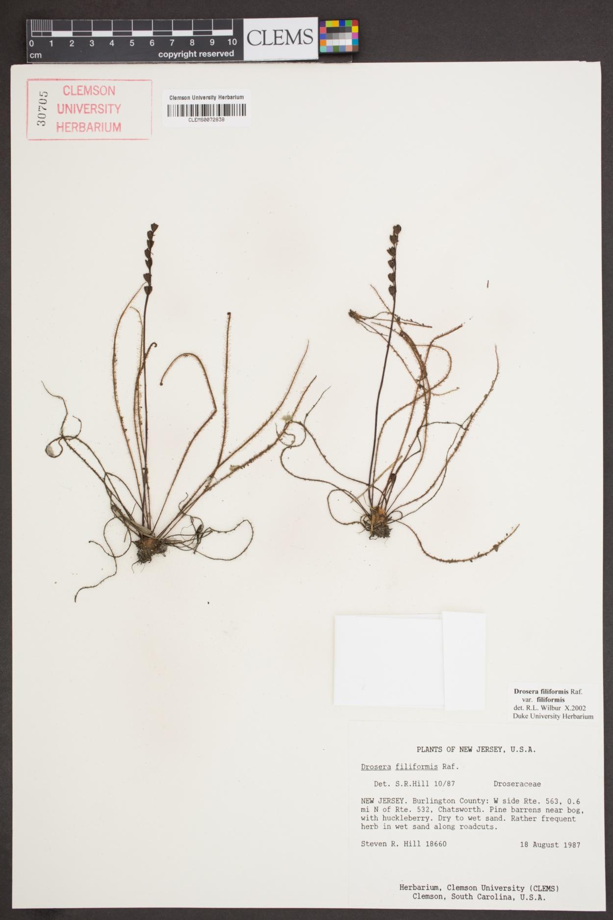 Drosera filiformis var. filiformis image