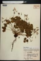 Oxalis corymbosa image
